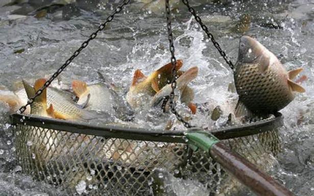Loňská produkce tržních ryb v České republice předčila očekávání
